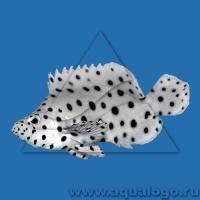 Групер леопардовый M