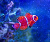 Клоун премнас (Красный трехполосый клоун) L