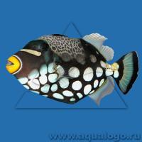 Аквариумные рыбки спинороги