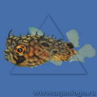 Рыба-еж длинноиглая L