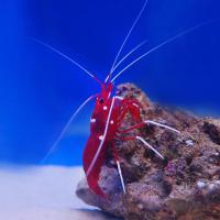 Креветка-доктор кардинал, Лисмата кровавая MLysmata debelius