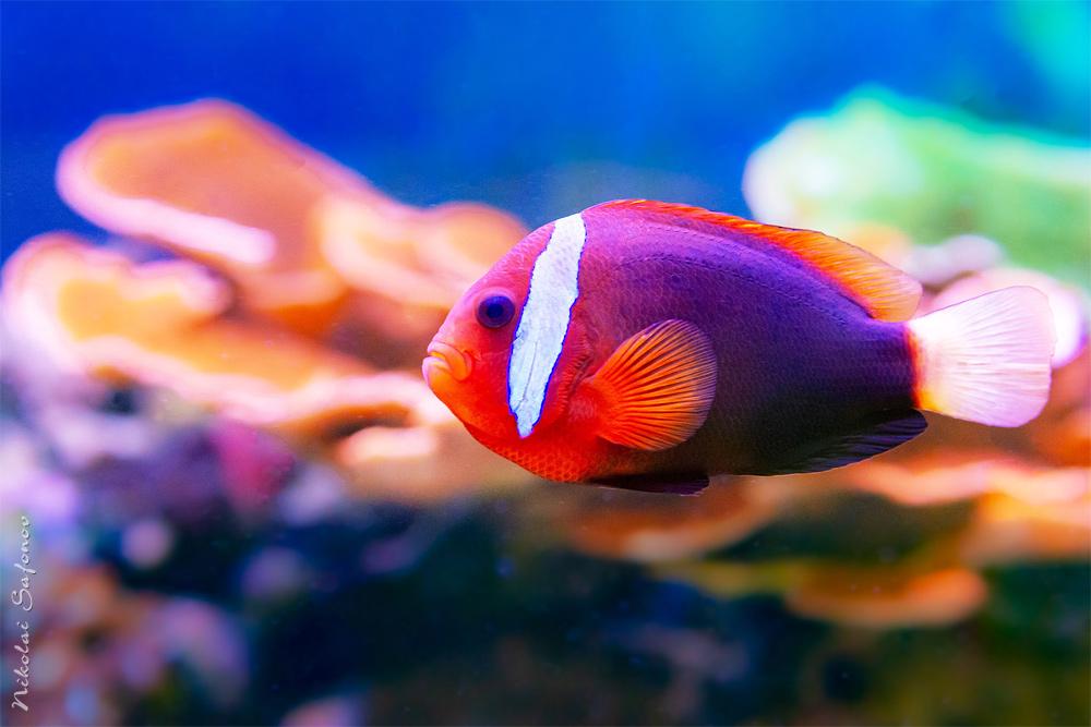 Клоун в морском аквариуме