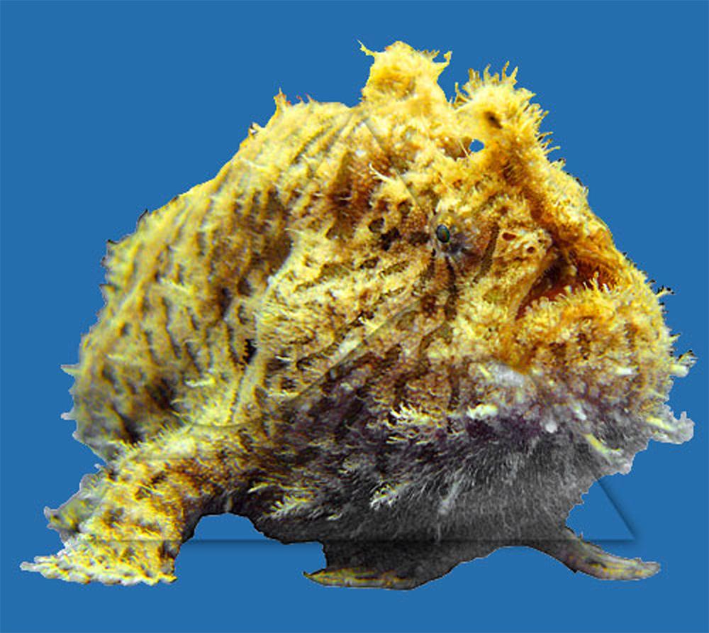 Удильщик (Бородавчатый клоун) косматый  Antennarius hispidus