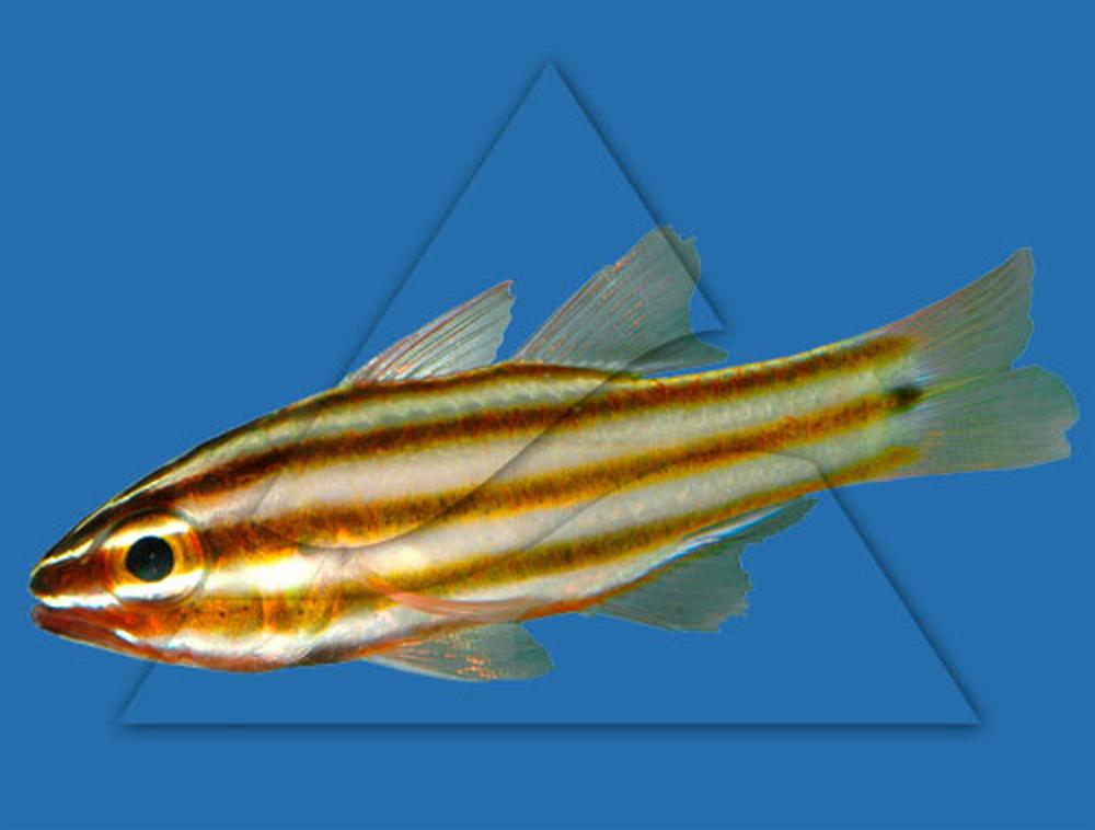 Апогон желтополосый  Apogon cyanosoma