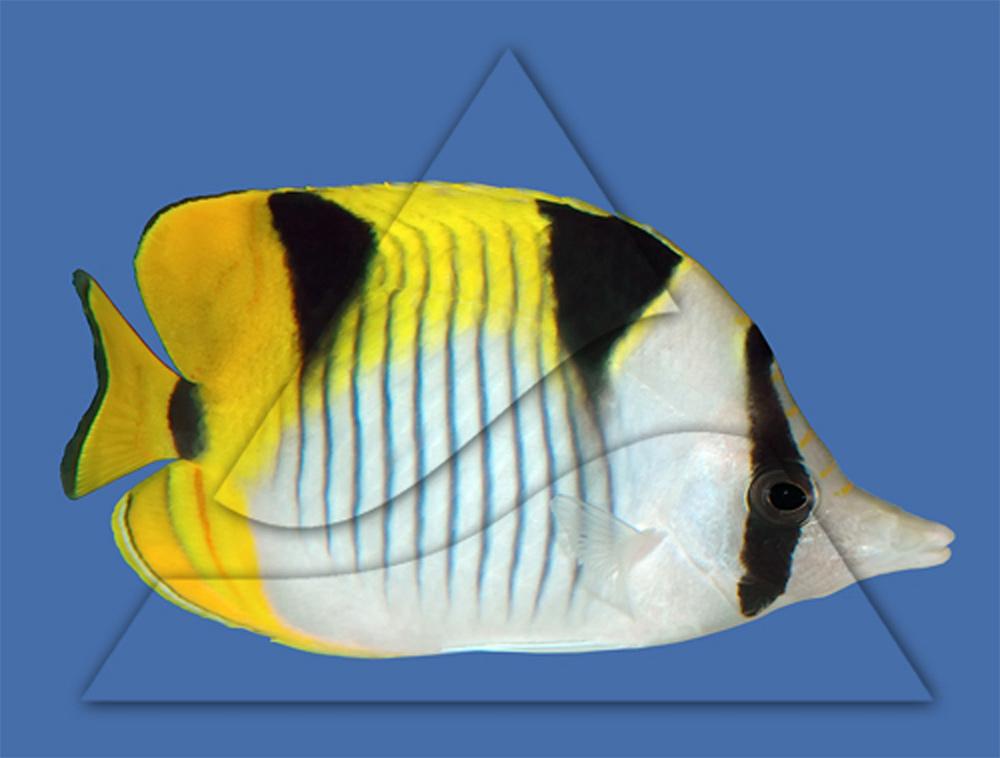 Бабочка клинопятнистая (фалкула)