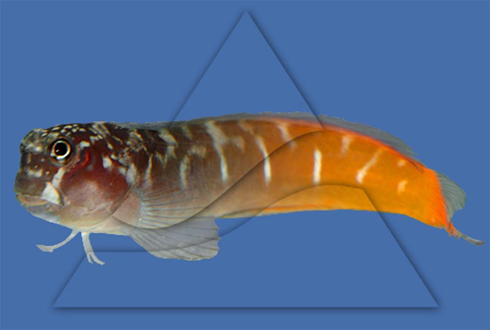 Собачка-эксен двухцветная  Ecsenius bicolor