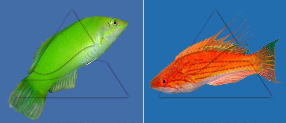 Тамарин зеленый (Halichoeres chloropterus)  и  губан краснополосый (Paracheilinus filamentosus)