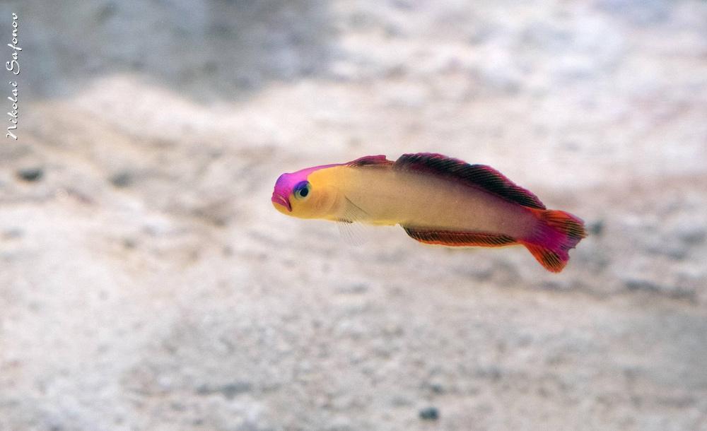 Нематэлеотрис фиолетовоплавничный Nemateleotris decora