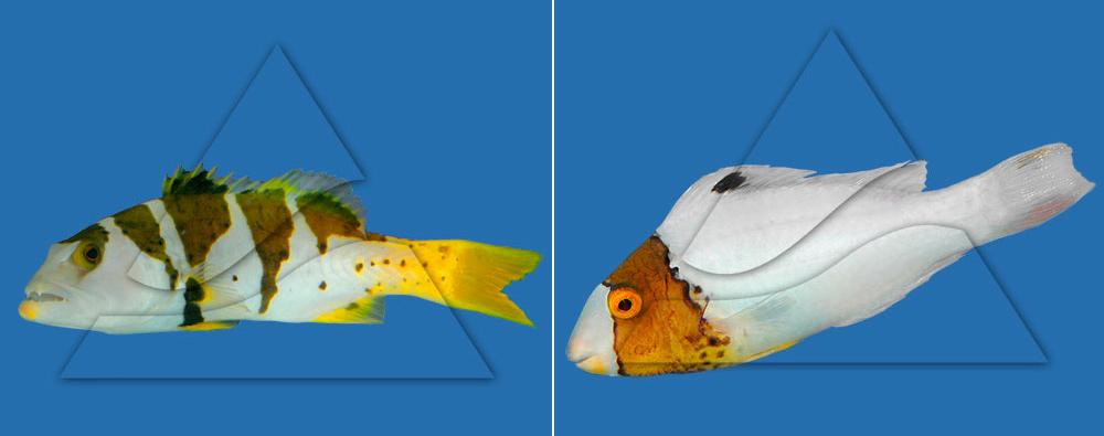 Групер-сендеронг черно-пятнистый (слева) и  попугай-цетоскарус масковый двухцветный (справа)