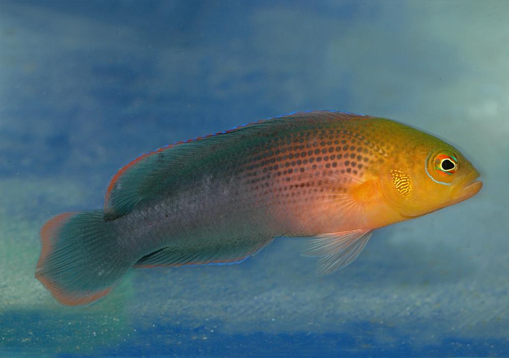 Ложнохромис оранжевоголовый   Pseudochromis dilectus