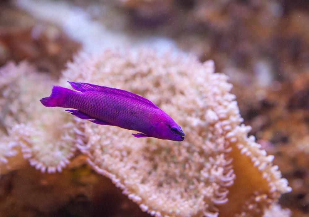 ложнохромис Фридмана Pseudochromis fridmani