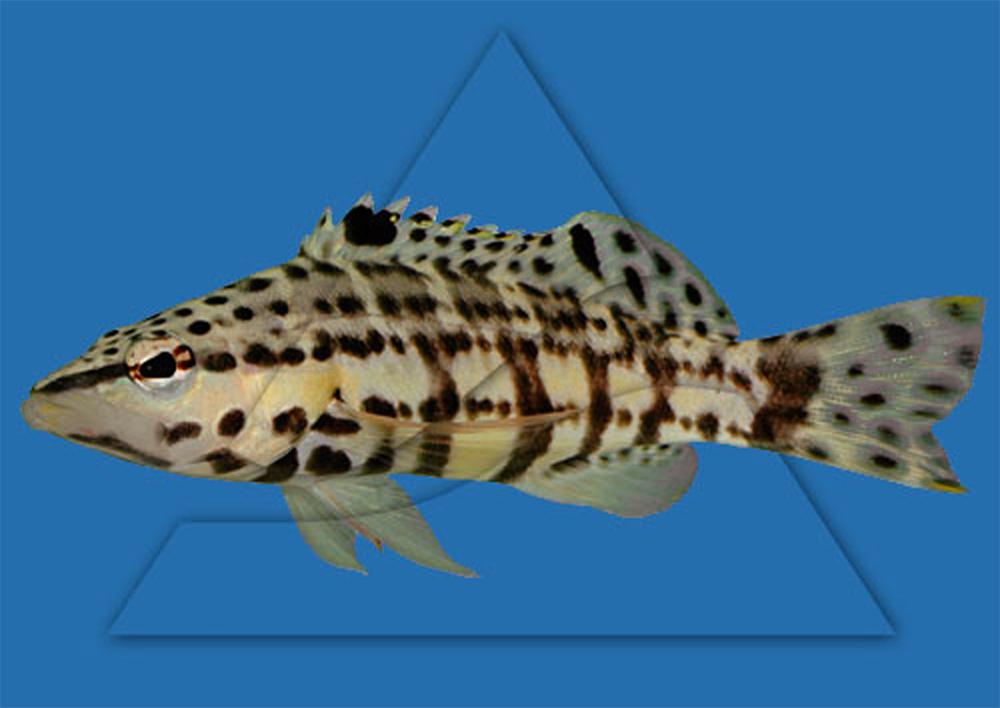 Групер (Каменный окунь, Серранус) тигровый Serranus tigrinus