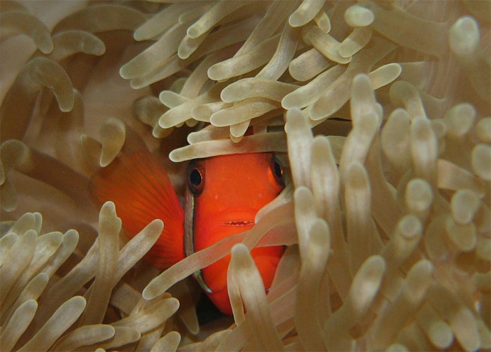 Клоун френатус в актинии
