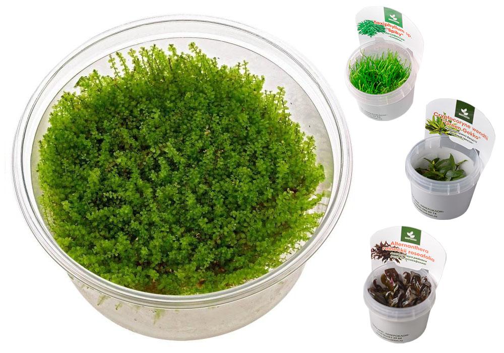 Меристемные растения